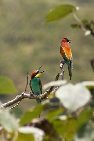 European Bee-eaters.jpg