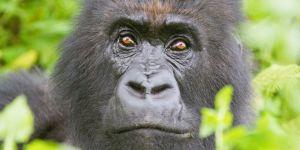 Gorilla-Eyes.jpg