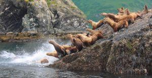 Sea_Lions.jpg