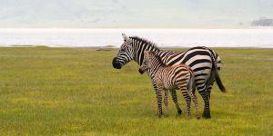 c99-Zebra.jpg